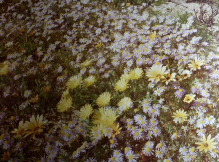 Namaqualand Flowers 1979